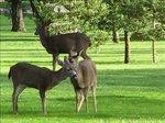 Deers7